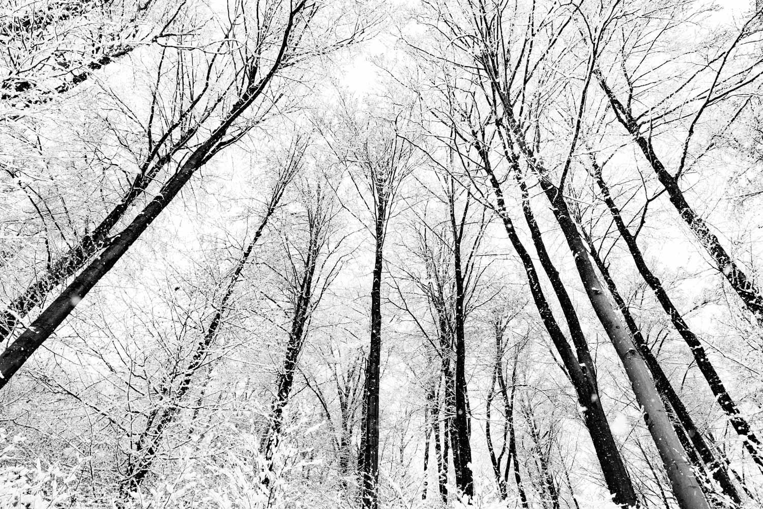 A forest of snow